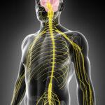 Chiro nerve system CCSV